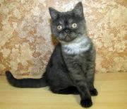 Шотландские прямоухие котятаI окрас черный дымчатый